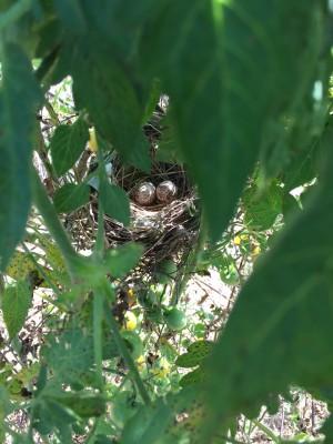 Bird's nest in tomato plant